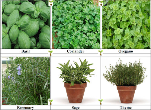 6 Pack Herb Collection Seeds Basil, Coriander