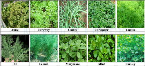 10 Pack Herb Collection Seeds Parsley, Anise