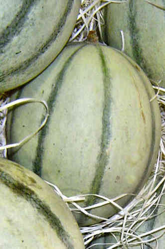 Melon Irina F1 (8) Fruit Seeds