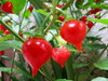"Biquinho Red ""Pearl Peppers"" (10) Fruit Seeds"