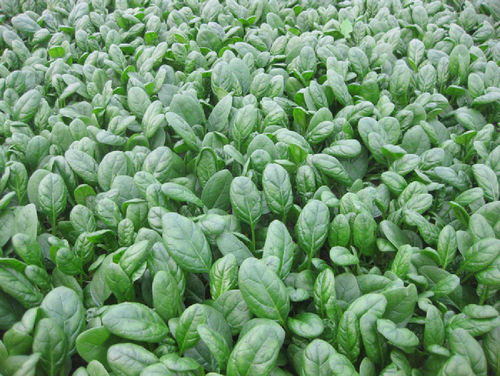 Spinach F1 Banjo (150) Vegetable/Fruit Seeds