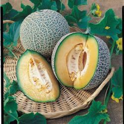 Melon Blenhiem Orange 7 x Fruit Seeds