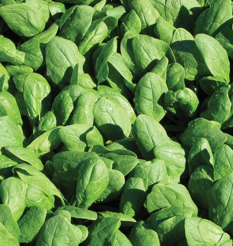 Spinach Trombone F1 150 (1.66g) Vegetable Seeds