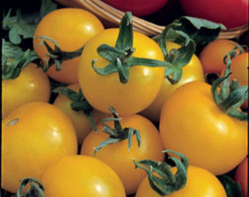 3 x Tomato - Golden Sunrise Cherry Plug Plants