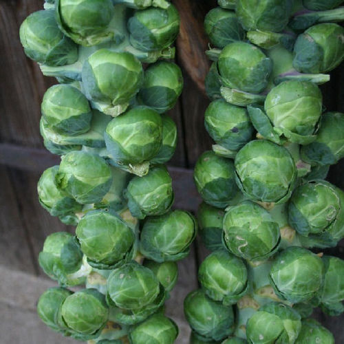 6 Brussels Sprout Bosworth 6cm Biodegradable Pot