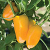 Lunch Box Yellow Mini Sweet Pepper Seeds