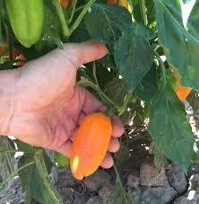 Lunch Box Orange Mini Sweet Pepper Seeds