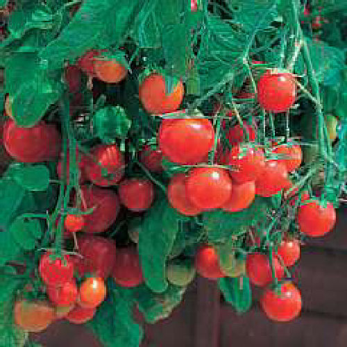 3 x Tomato Tumbling Tigress Red Plug Plants